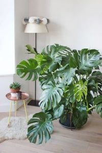 indoor-plant-cheese-monstera-plant-10