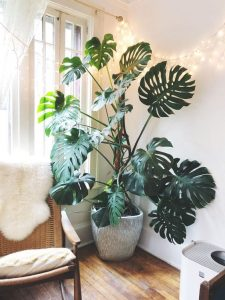 indoor-plant-cheese-monstera-plant-11