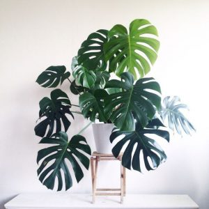 indoor-plant-cheese-monstera-plant-2