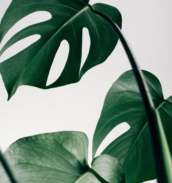 indoor-plant-cheese-monstera-plant-3