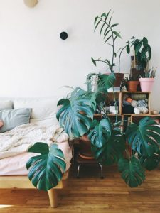 indoor-plant-cheese-monstera-plant-6