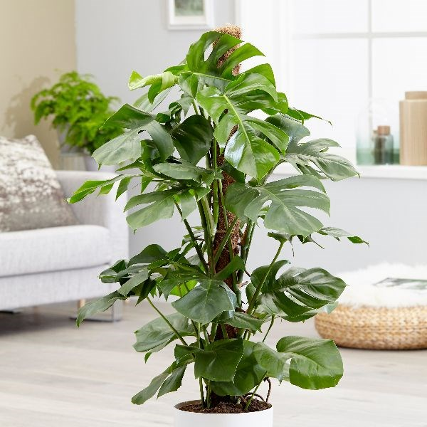 indoor-plant-cheese-monstera-plant-7