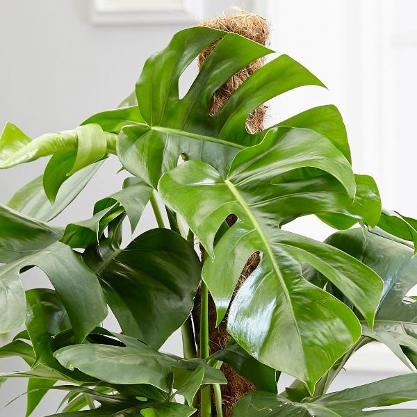 indoor-plant-cheese-monstera-plant-8