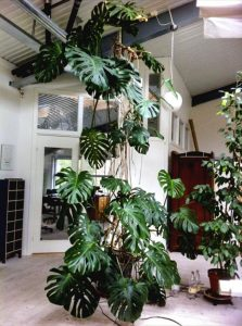 indoor-plant-cheese-monstera-plant-9