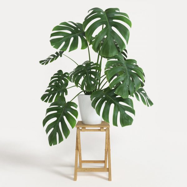 indoor-plant-cheese-monstera-plant-baby-1
