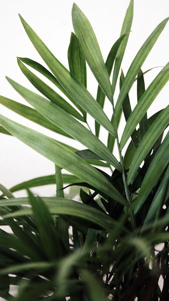 indoor-plant-kentia-palm-plant-8