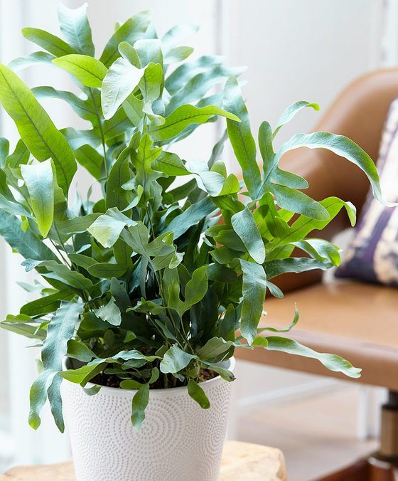 indoor-plants-Breath-Fresh-Air-Phlebodium-3