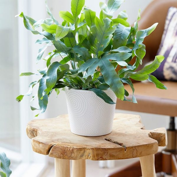 indoor-plants-Breath-Fresh-Air-Phlebodium-5