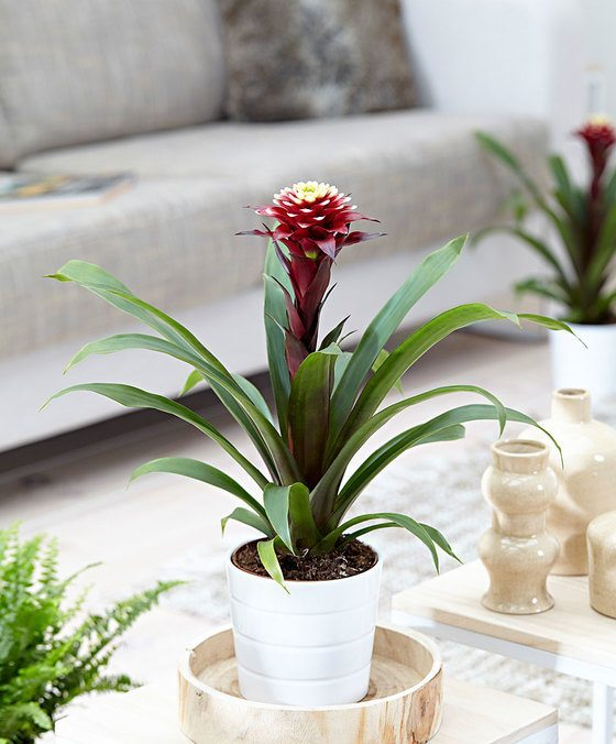 indoor-plants-Bromeliaceae-Guzmania-Purple-2