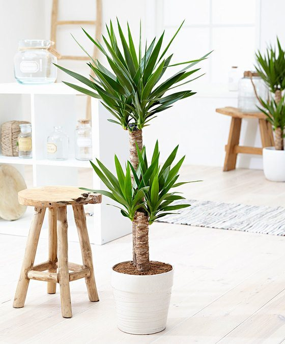 indoor-plants-Little-Crown-Jewels-Yucca-Plant-1