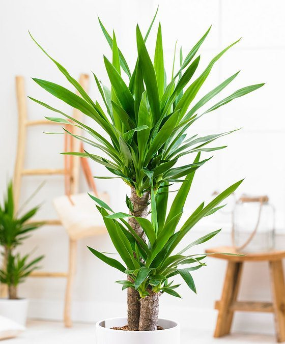 indoor-plants-Little-Crown-Jewels-Yucca-Plant-3