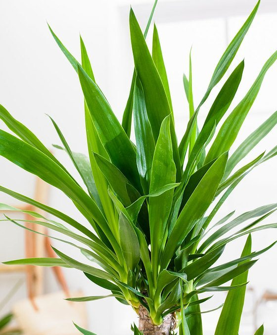 indoor-plants-Little-Crown-Jewels-Yucca-Plant-4