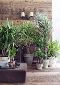 indoor-plants-Little-Crown-Jewels-Yucca-Plant-8