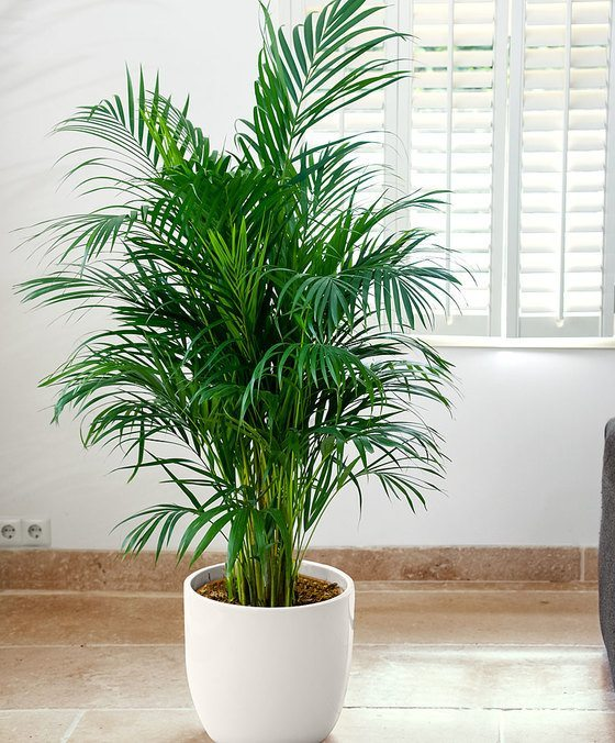 indoor-plants-Little-Hawaii-Butterfly-Palm-Tree-1
