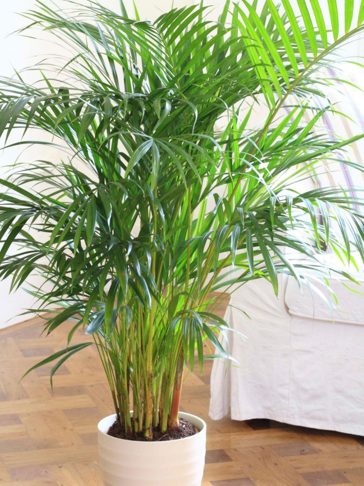 indoor-plants-Little-Hawaii-Butterfly-Palm-Tree-4