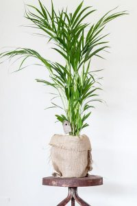 indoor-plants-Little-Hawaii-Butterfly-Palm-Tree-5