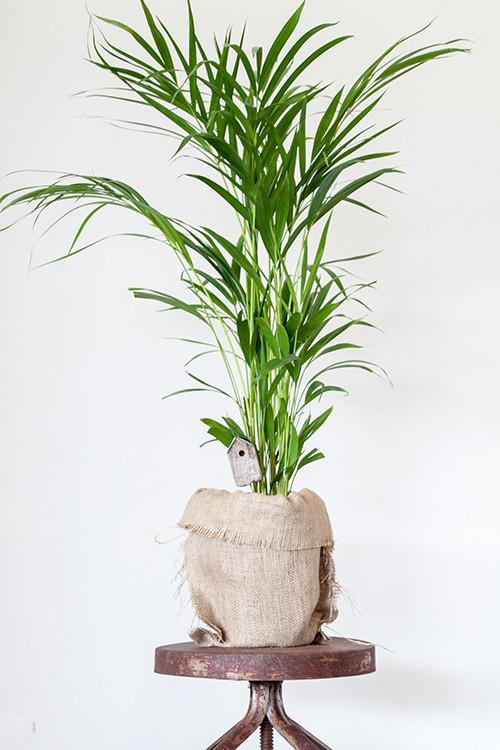 indoor-plants-Little-Hawaii-erfly-Palm-Tree-5 Palm Tree Looking House Plant on palm trees as houseplants, palm trees beach houses, palm tree guest house barbuda, palm tree care house, palm tree like house plant,