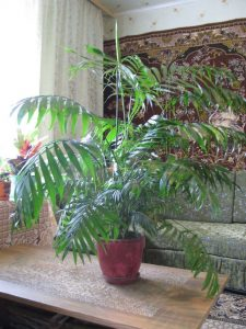 indoor-plants-Little-Hawaii-Butterfly-Palm-Tree-6