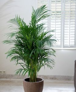 indoor-plants-Little-Hawaii-Butterfly-Palm-Tree-7