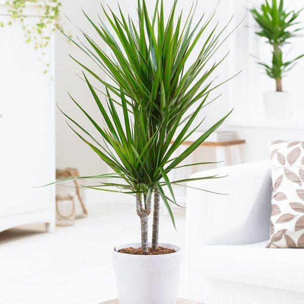 indoor-plants-The-Green-Crown-Dracaena-4