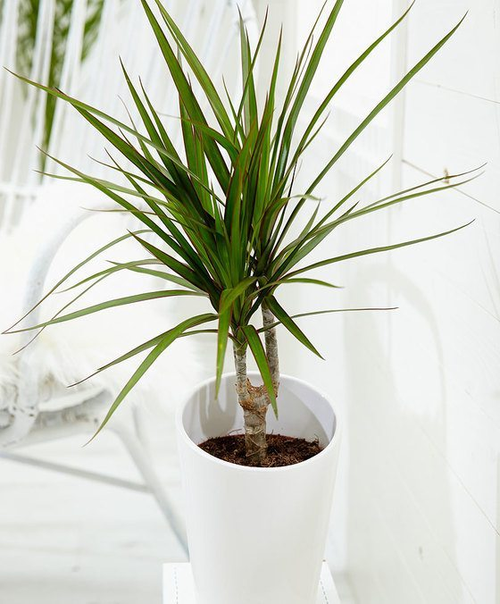 indoor-plants-The-Green-Crown-Dracaena-9