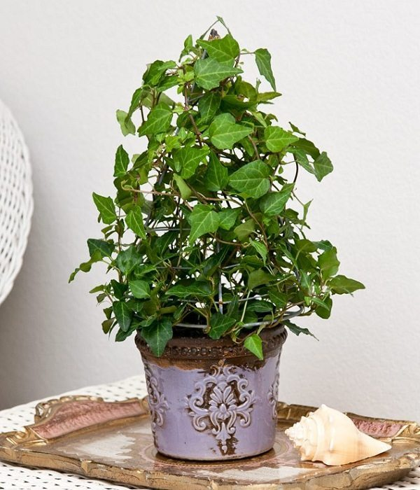 indoor-plants-baby-ivy