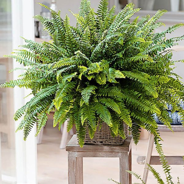 indoor-plants-boston-fern-1