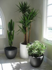 indoor-plants-crown-jewels-yucca-10