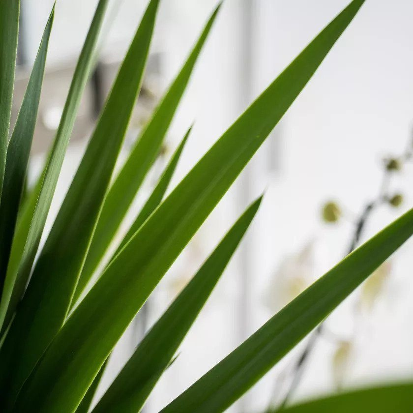 indoor-plants-crown-jewels-yucca-3