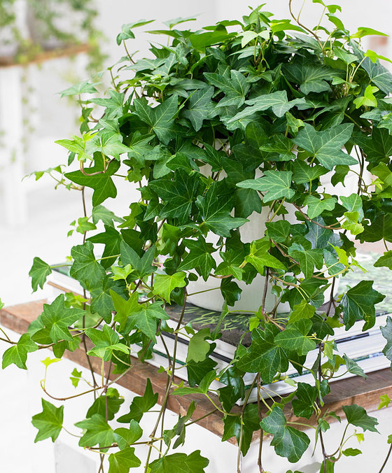 indoor-plants-english-ivy-2