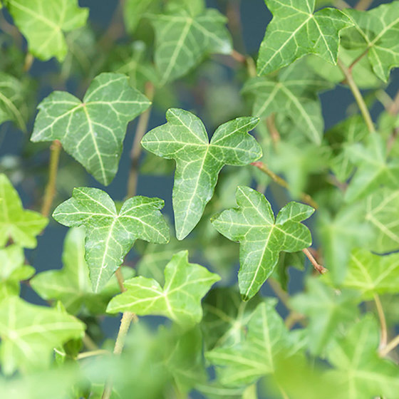 indoor-plants-english-ivy-3