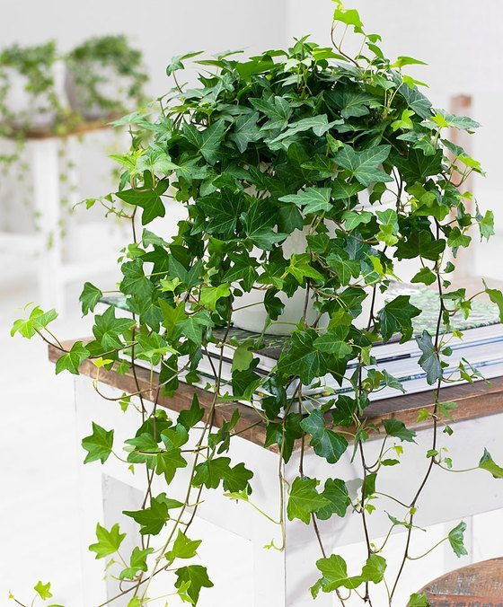 indoor-plants-english-ivy