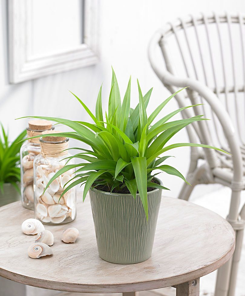 indoor-plants-lemon-spider-plant-chlorophytum-1
