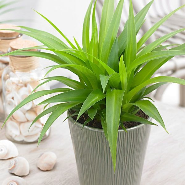 indoor-plants-lemon-spider-plant-chlorophytum-2