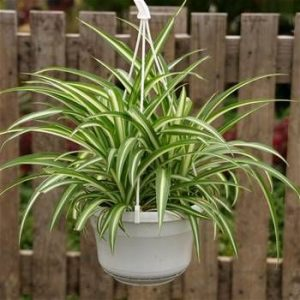indoor-plants-lemon-spider-plant-chlorophytum-5