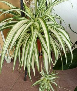 indoor-plants-lemon-spider-plant-chlorophytum-7