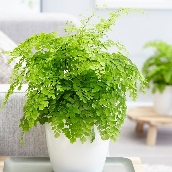 indoor-plants-maidenhair-fern-4