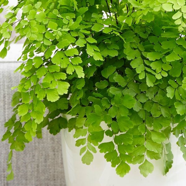 indoor-plants-maidenhair-fern-5
