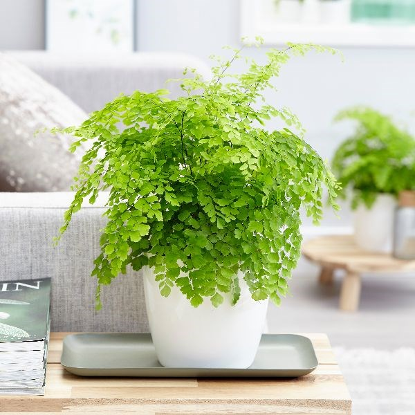 indoor-plants-maidenhair-fern-6