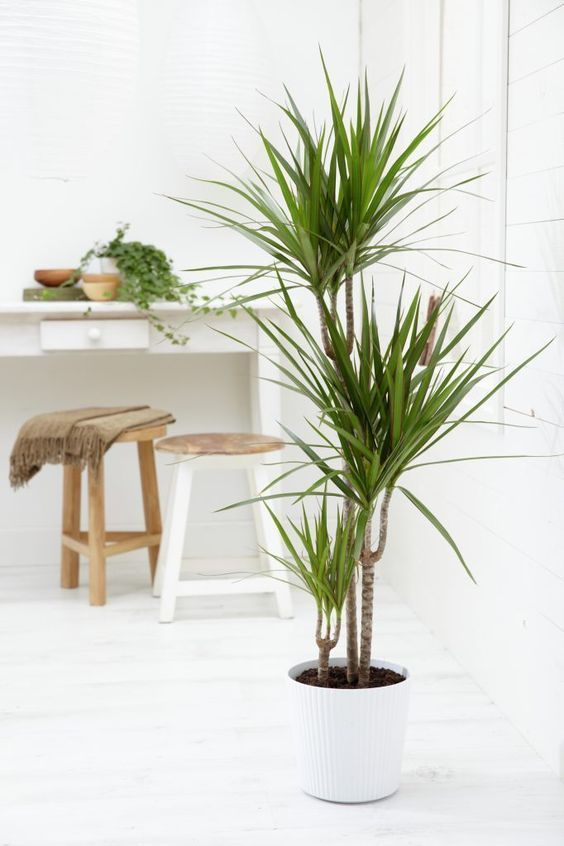 indoor-plants-red-dragon-dracena-3