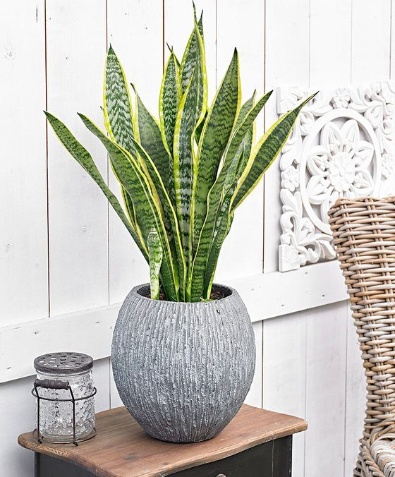 indoor-plants-sansevieria-8