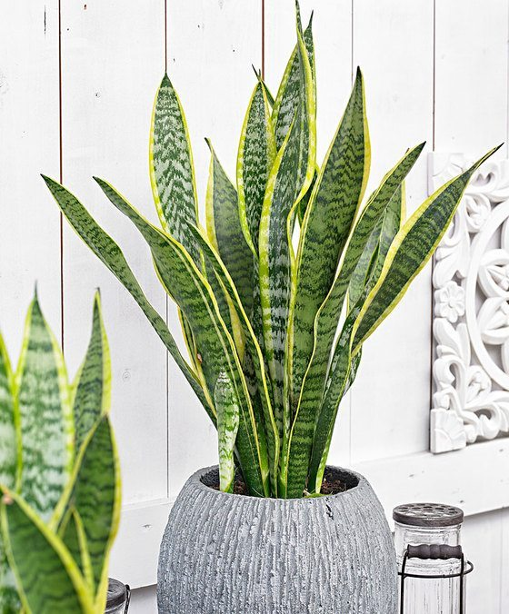 indoor-plants-sansevieria-9