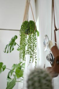 indoor-plants-string-of-pearls-2