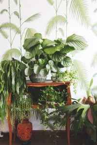 indoor-plants-string-of-pearls-3