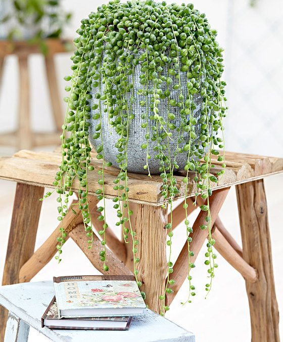 indoor-plants-string-of-pearls