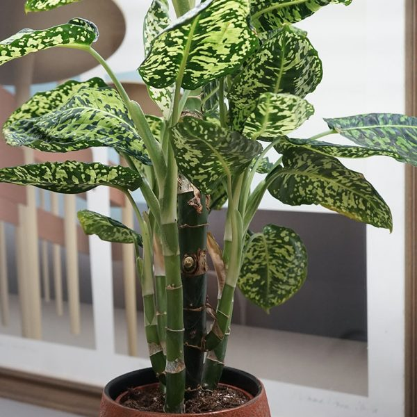 indoor-plants-dieffenbachia-1