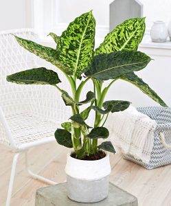 indoor-plants-dieffenbachia-12
