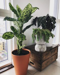 indoor-plants-dieffenbachia-16