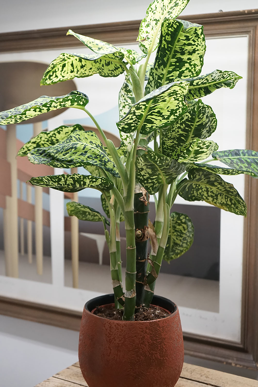 indoor-plants-dieffenbachia-2
