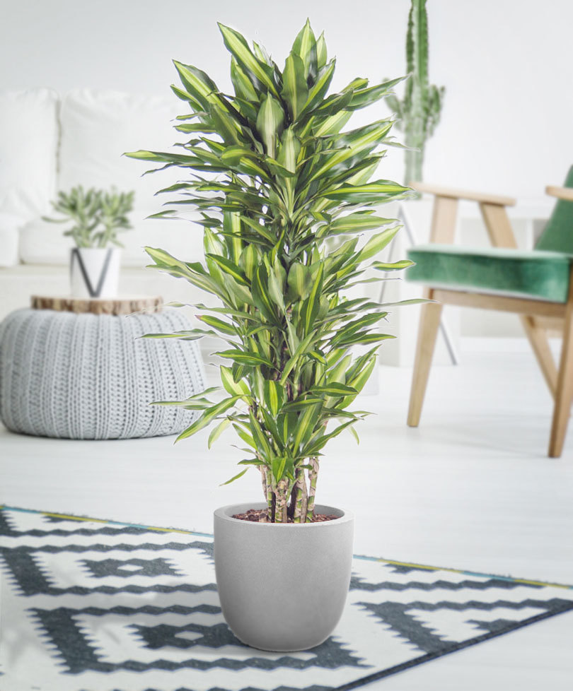 indoor-plants-green-dragon-dracena-1